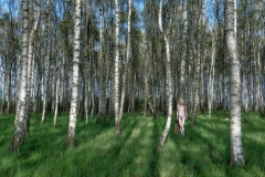 20140420_birches_nude